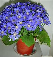 瓜叶菊:上海植物租赁-上海植物租赁价格-上海植物租赁报价