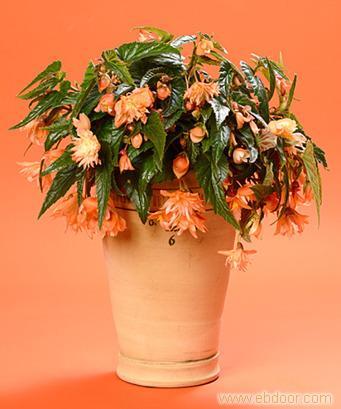 秋海棠:上海植物租摆价格-上海植物租摆报价-上海植物租摆公司