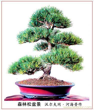 上海植物租赁-松树盆景
