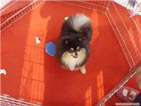 超级铁包金种公(Ben)     上海博美犬