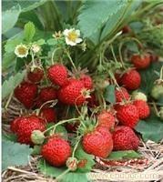新一季的草莓采摘开始啦!