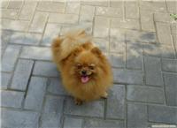 艾米----       上海博美犬