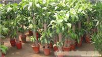 巴西木:上海浦东花卉租赁;上海绿化养护
