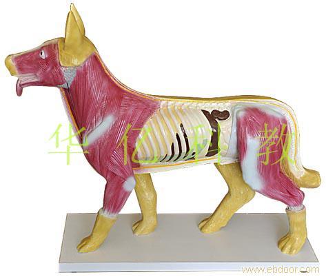 动物模型-狗解剖模型
