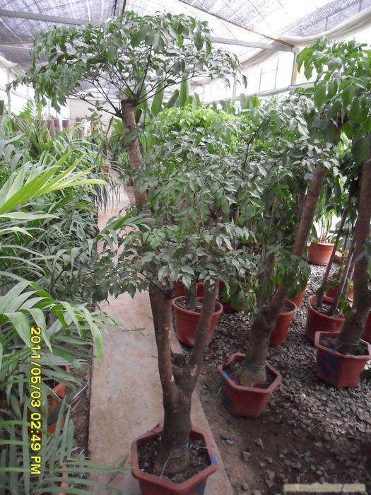 多头幸福树 办公室植物租赁