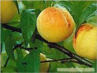 黄桃类水果采摘