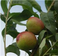 油桃-上海摘桃子-崇明油桃采摘
