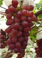 葡萄类-上海摘葡萄-崇明葡萄采摘