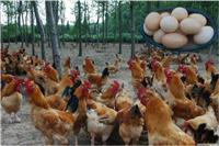 中华宫廷黄鸡-崇明生态农业旅游