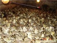 供应野鸡苗-山鸡苗-全国首家黑天鹅繁育基地