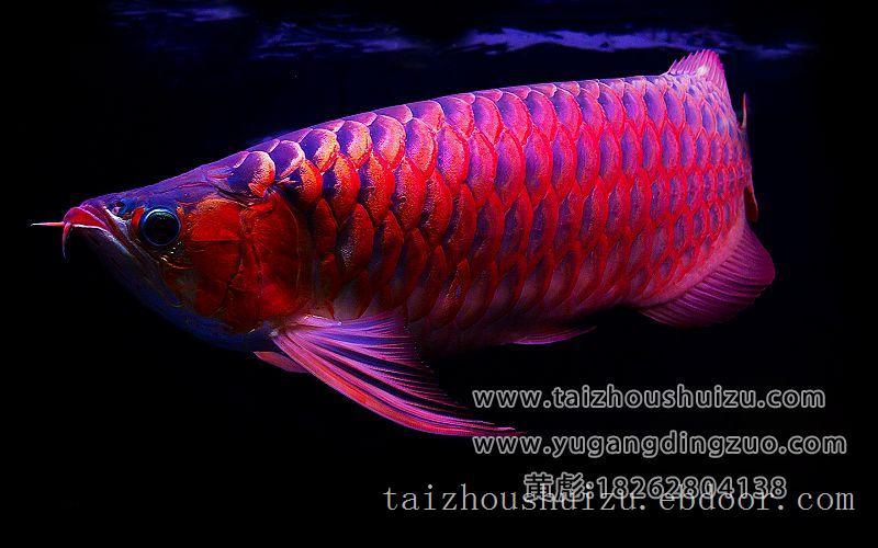 超级红龙,泰州定做鱼缸