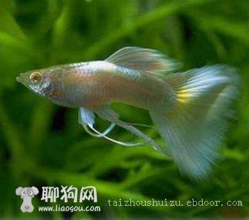淡水名鱼2