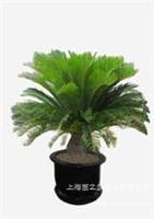 苏铁-上海浦东植物租赁|上海浦东植物租赁公司|上海浦东植物租赁价格