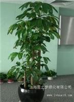 摇钱树-上海办公室植物租赁|上海办公室植物租赁价格|上海办公室植物租赁报价