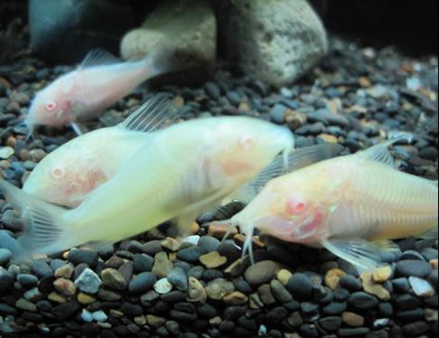 深海热带之白鼠鱼