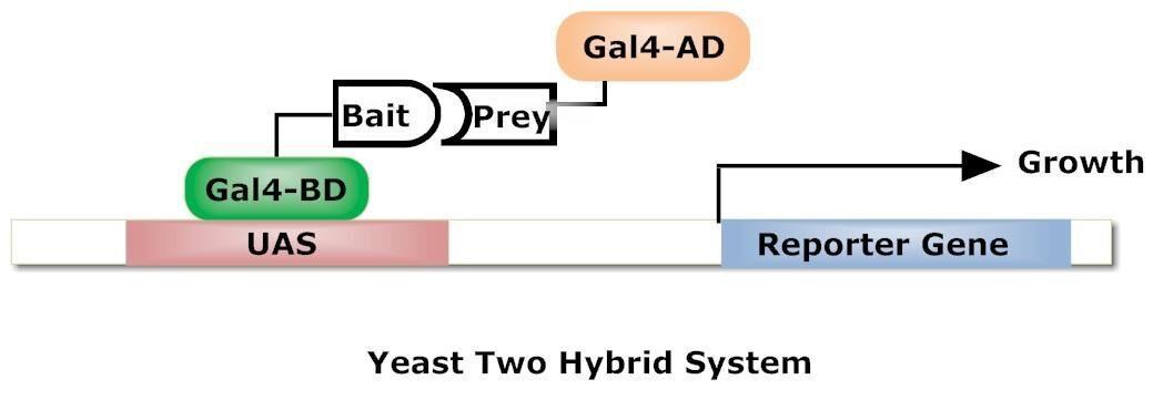 酵母双杂交技术检测