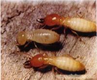 上海白蚁防治所-白蚁防治站-灭杀白蚂蚁?