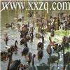 黑天鹅养殖-全国首家黑天鹅-澳洲黑天鹅繁育养殖场