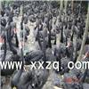 上海黑天鹅养殖基地-上海黑天鹅养殖-上海黑天鹅厂家
