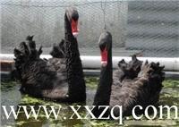 美丽高贵的观赏动物----黑天鹅?