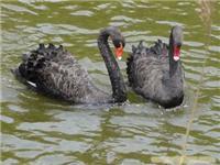 黑天鹅为园林景观锦上添花