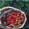 上海草莓批发,上海草莓订购
