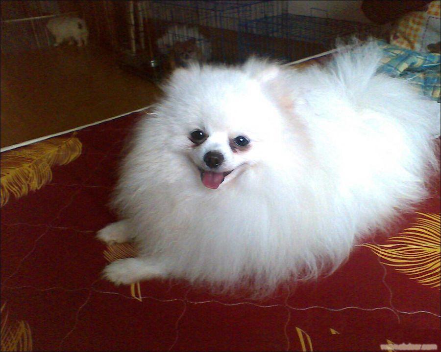 纯种博美犬价格图片_白博美对外配种(纯种),上海白博美对外配种(纯种)_白博美对外 ...