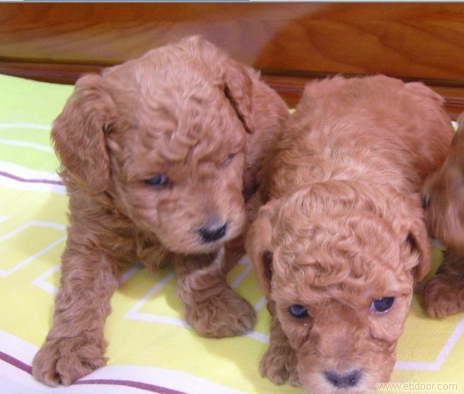 贵宾狗和泰迪的区别_泰迪红贵宾的价格-玩具型泰迪(贵宾犬、红色)价格多少?