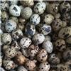 高营养鹌鹑蛋