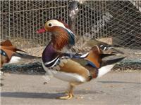 鸳鸯-最漂亮的水禽-鸳鸯养殖场-上海新兴珍禽养殖场