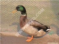 绿头野鸭-全国最大黑天鹅繁育基地