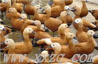赤麻黄鸭-漂亮的水禽-观赏动物