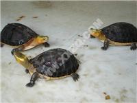 黄缘闭壳龟苗-观赏动物-全国首家黑天鹅繁育基地?