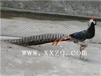红腹锦鸡\白腹锦鸡-观赏动物-全国首家黑天鹅繁育基地