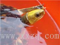 中国名龟--金钱龟-金头闭壳龟-全国首家澳洲黑天鹅繁育基地