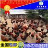贵州土鸡苗养殖技术