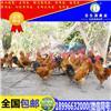 土鸡苗养殖技术公司