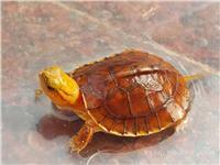 百色闭壳龟