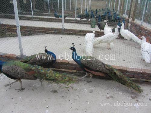 斗鸡价格孔雀哪里卖