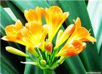 君子兰花卉养殖