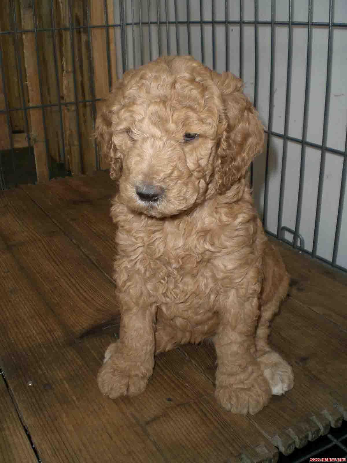 白色巨型贵宾犬价格_巨型贵宾犬_1个月红色贵宾犬相关信息_上海贵宾犬舍 _一比多